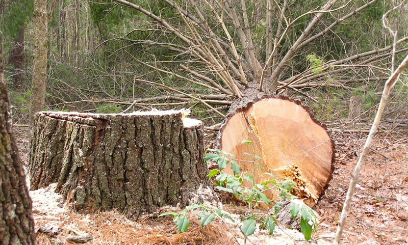 Green vs. Dried Timbers - That is the Question